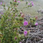 Carduus defloratus (Asteraceae)