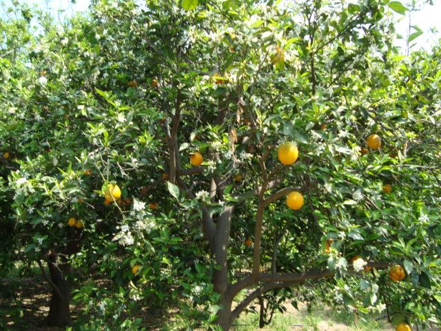 Orangenplantage an der Kueste