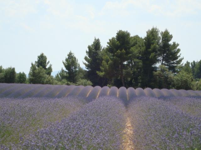 Lavendelblüten wohin man blickt